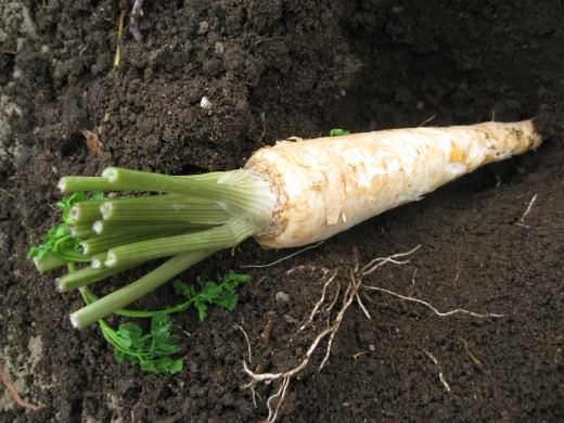 Наиболее известные сорта корневой петрушки – Урожайная, Бордовикская, Корневая Берлинская, Листовая